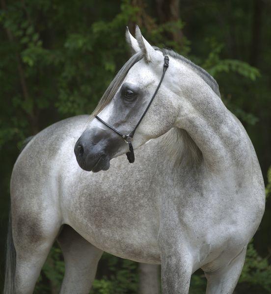 A Nemzeti Vágta Nemzetközi Futamán induló lovak